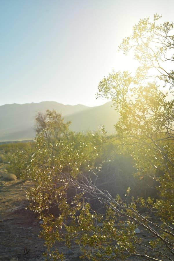 Backlight wildflowers brancos minúsculos do nascer do sol no vale Pahrump do deserto de Mojave, Nevada fotos de stock