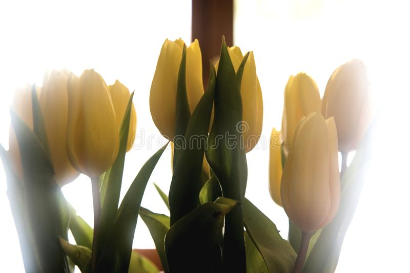 Backlight yellow tulips on white courtain. Interior decoration with backlight yellow tulips on white courtain royalty free stock photos