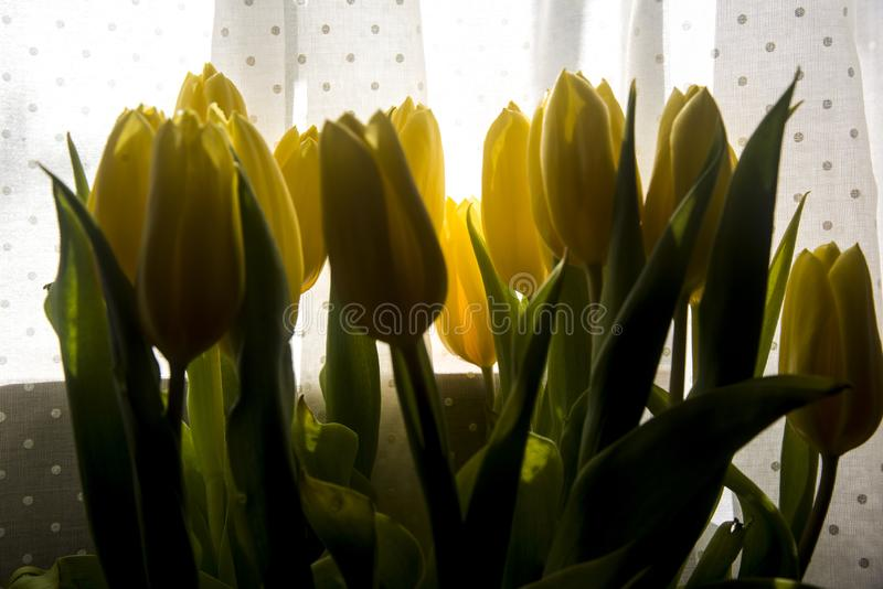 Backlight yellow tulips on white courtain. Interior decoration with backlight yellow tulips on white courtain stock photos