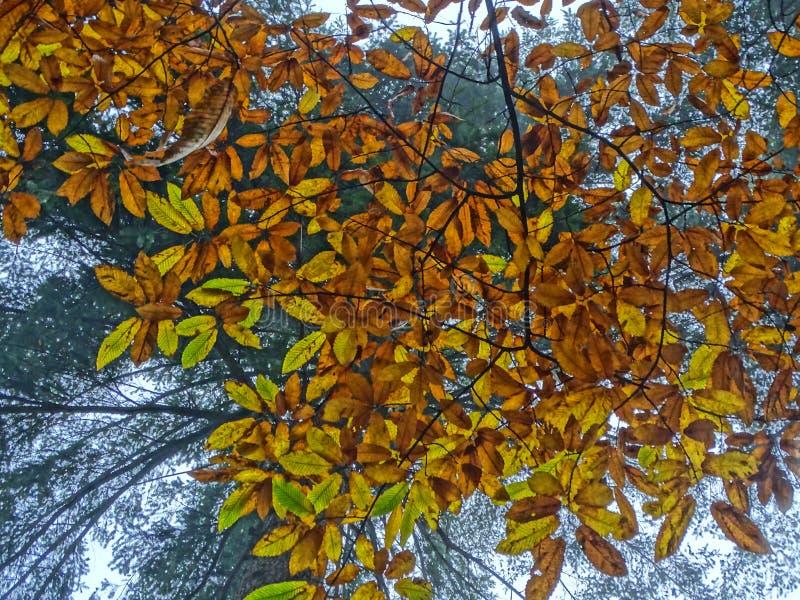 Backlighted bruine bladeren van zoete kastanje stock afbeeldingen