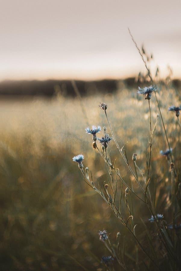 Backlighting cornflowers z blury owsem zdjęcia royalty free