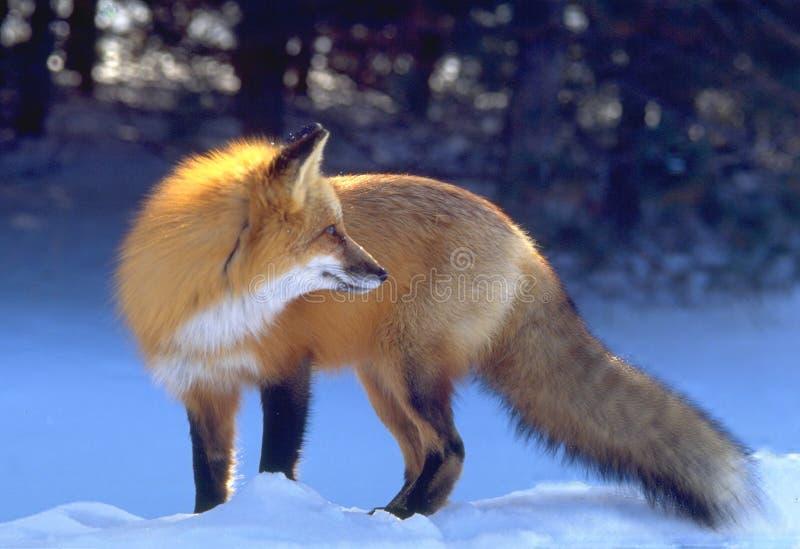 backlit красный цвет лисицы стоковая фотография rf