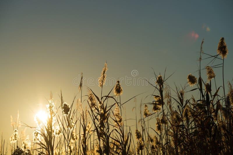 Backlit тростники стоковая фотография rf