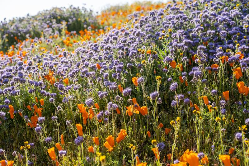 Backlit, afternoon sun view of orange poppies and lacy phacelia during the California wildflower super bloom stock photos