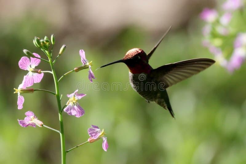 Backlit Anna ` s Kolibrie tijdens de vlucht stock fotografie