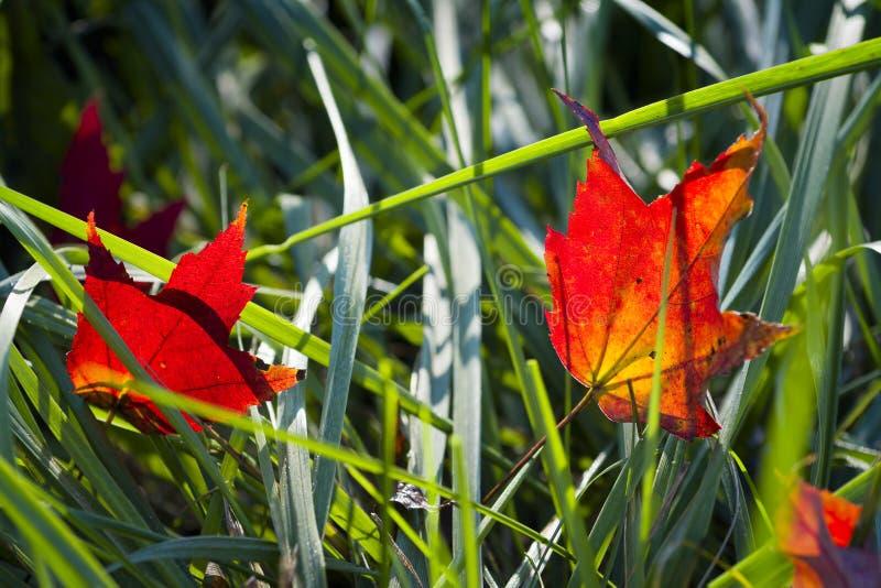 Backlit Autumn Leaves op een Grasgebied stock foto's