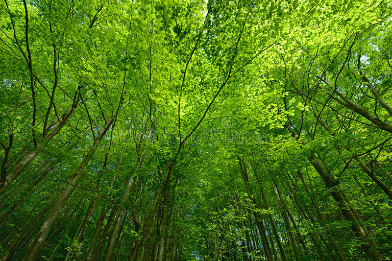 Backlit beech tree canopy on a sunny day. Makes an attractive background stock image