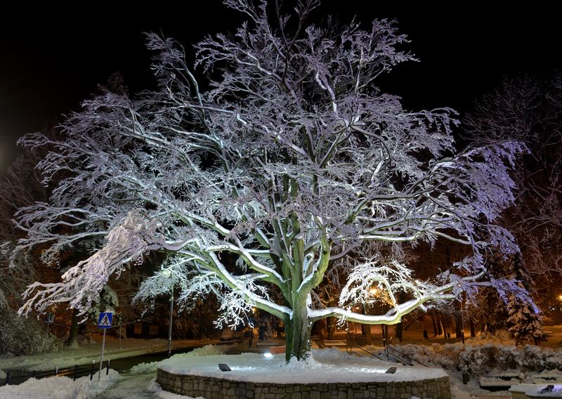 Backlit beech in winter night, park, Swieradow Zdroj resort,. Backlit beech covered with snow in winter night, city central park, Swieradow Zdroj resort royalty free stock photo