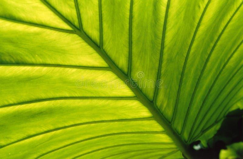 Backlit blad, stock foto