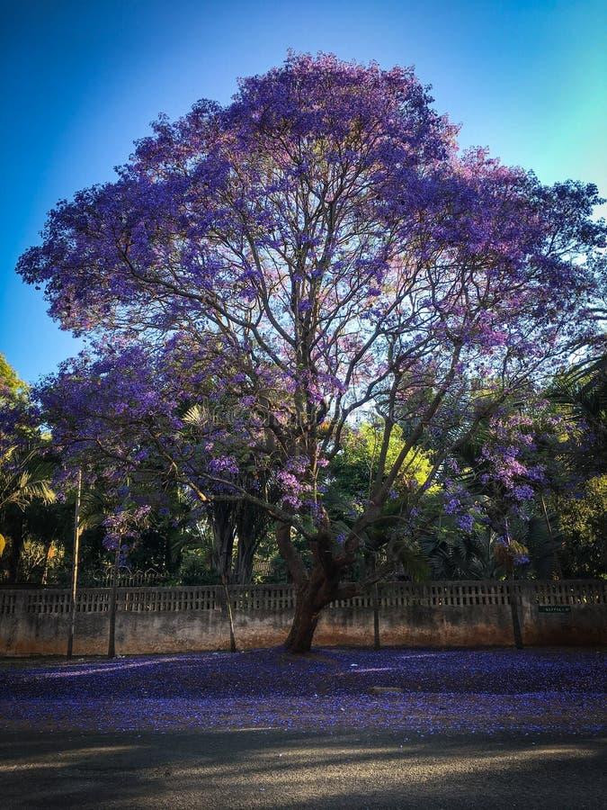 Backlit blomma för jakaranda royaltyfria bilder