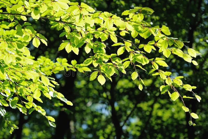 Backlit branch of a beech tree in a wood royalty free stock images