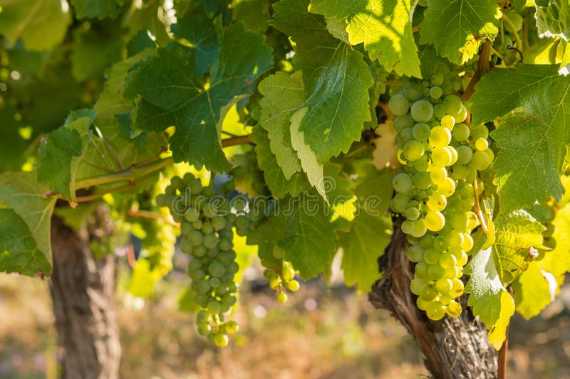 Backlit bunches of ripe Sauvignon Blanc grapes in vineyard stock images