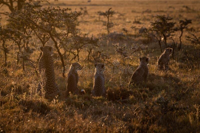 Backlit cheetah guarding four cubs at sundown royalty free stock photos