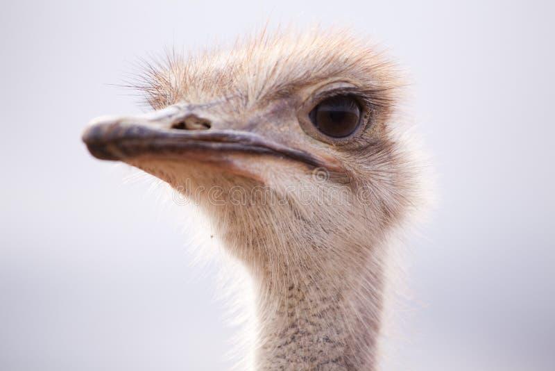 Backlit close-up zijportret van een struisvogel stock foto