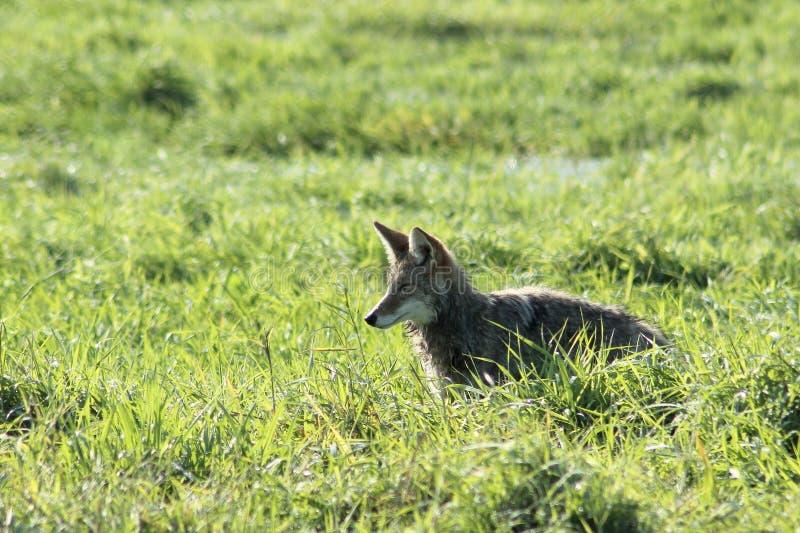 Backlit Coyote royalty-vrije stock afbeeldingen