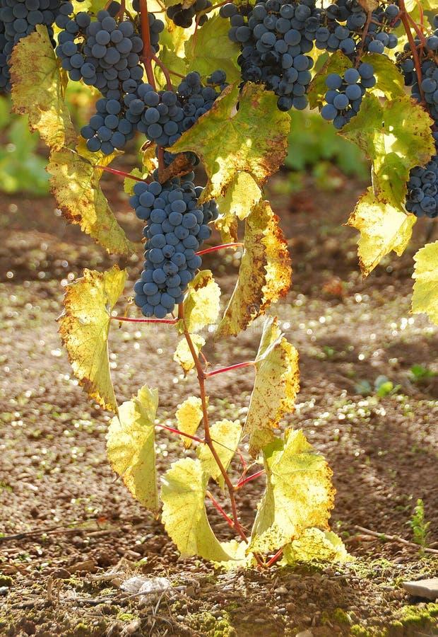 Backlit Druiven stock afbeelding