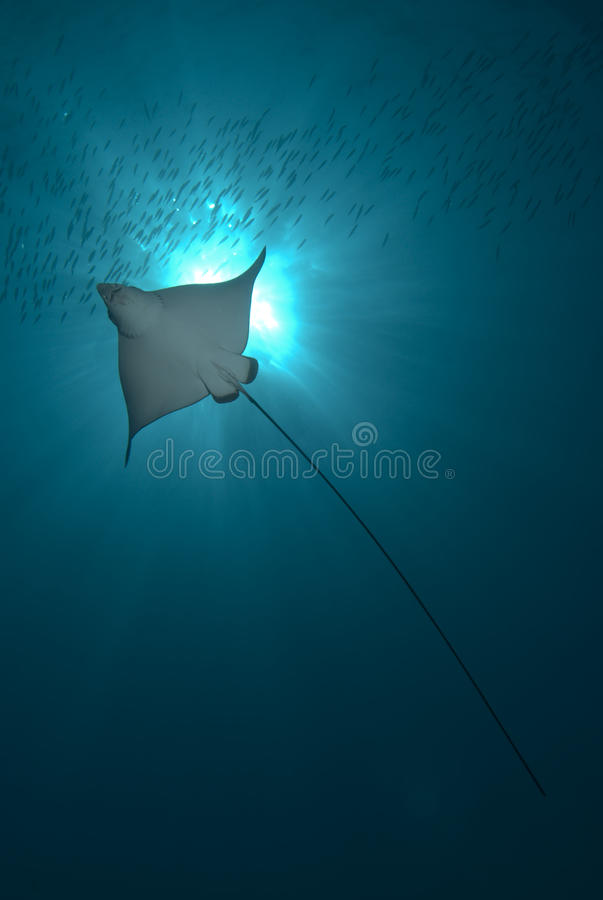 Free Backlit Eagle Ray Stock Photo - 12449750