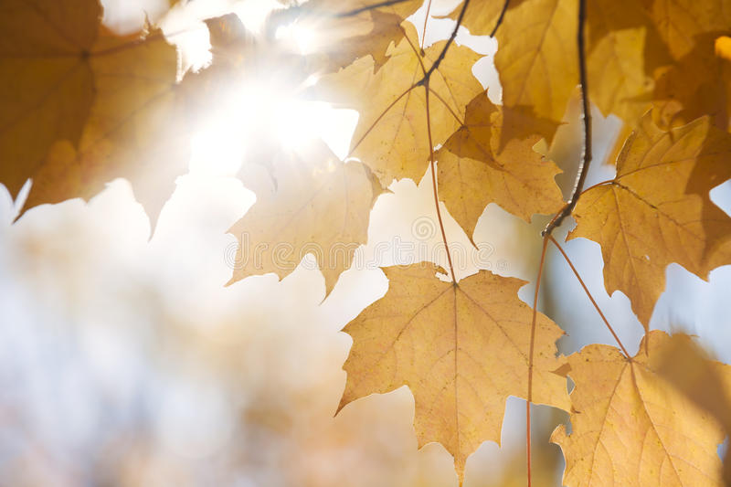 Backlit fall maple leaves in sunshine royalty free stock photo