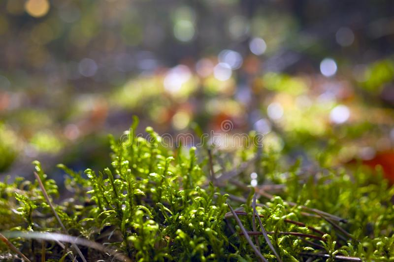 Backlit Fern Sprouts In The Pine Forest On Sunny Autumn Day Vage achtergrond royalty-vrije stock afbeelding