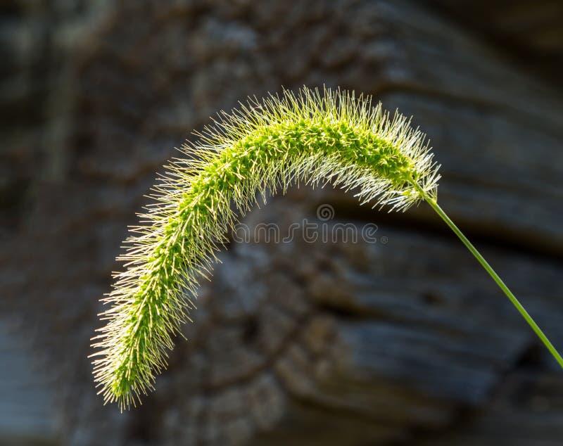 Backlit gras seedhead wordt verondersteld om Timoteegras te zijn dat stock afbeeldingen