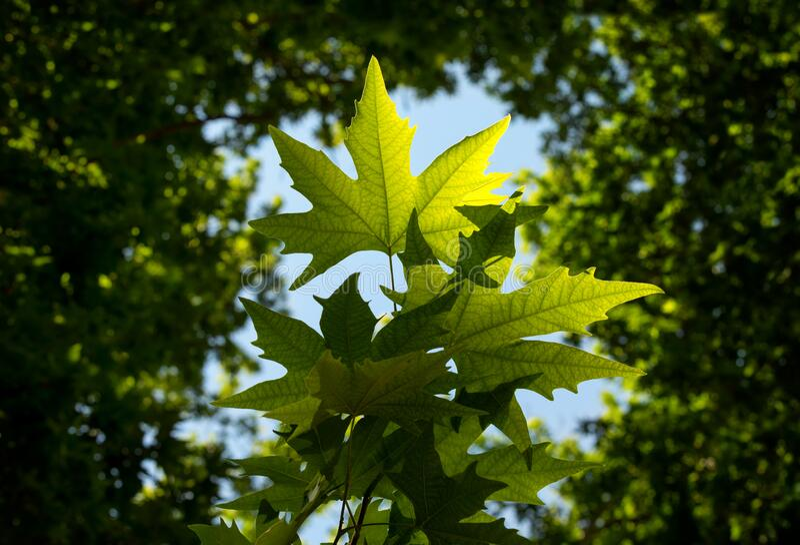 Backlit Green Leaves of Plane Tree in Summer against Blue Sky stock image