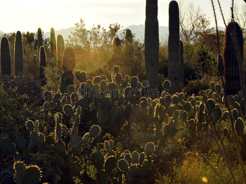 Backlit Highlights on Cacti in the Desert. Saguaro, Prickly Pear Cacti with backlit highlights at sunset in the desert royalty free stock photography