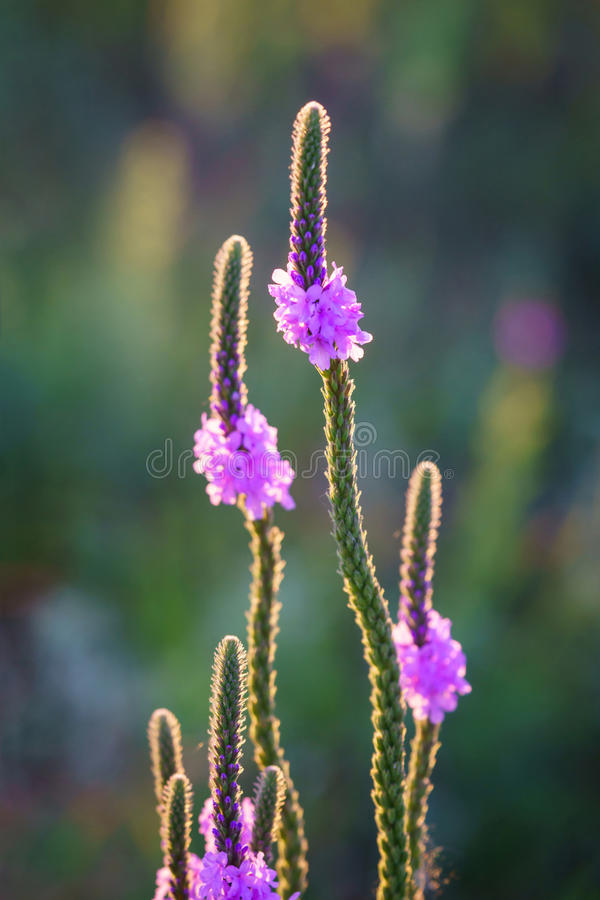 Backlit Hoary Vervain Wildflowers. Vertical backlit photo of hoary vervain wildflower. Image taken in Junction City, Kansas, on June 30, 2017 royalty free stock photo