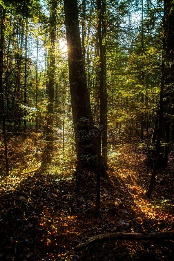 Backlit i skogen fotografering för bildbyråer