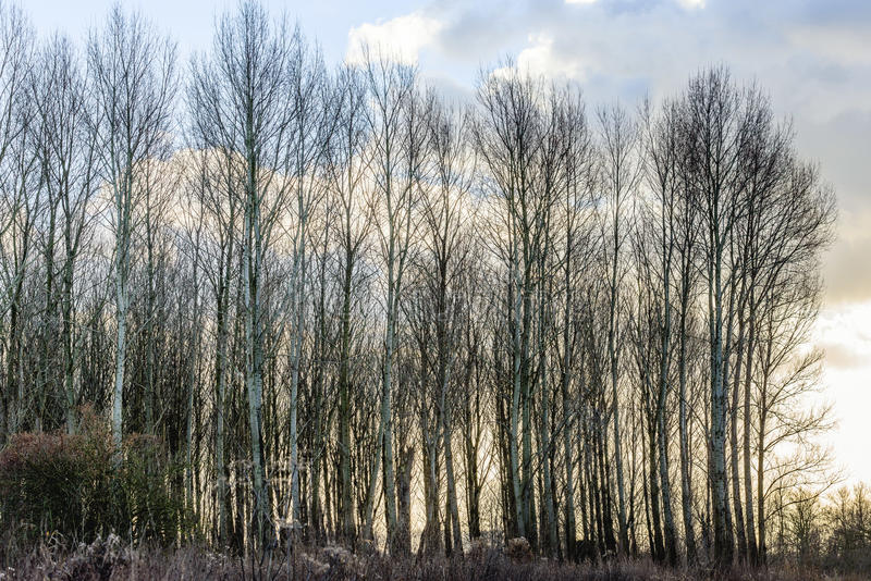 Backlit image of a row of tall trees without leaves. Row of tall bare trees in backlit against a cloudy sky on a clear day in the Dutch winter season royalty free stock photos