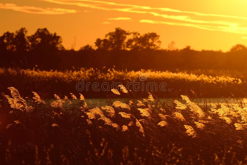Backlit Inheemse Grassen bij Zonsondergang royalty-vrije stock fotografie