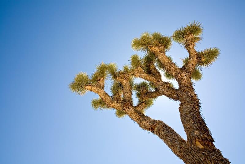 backlit Joshua tree obraz stock
