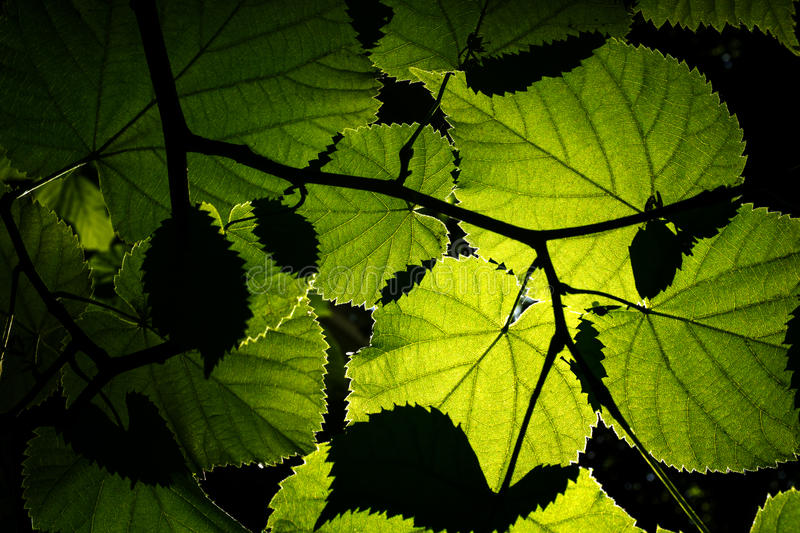 Download Backlit leaves stock image. Image of botany, leaf, structure - 31762419