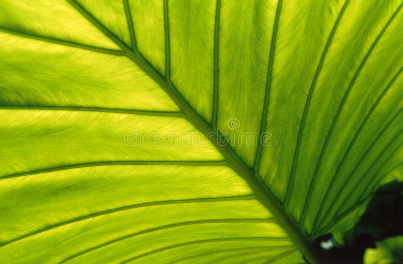 backlit liści, zdjęcie stock