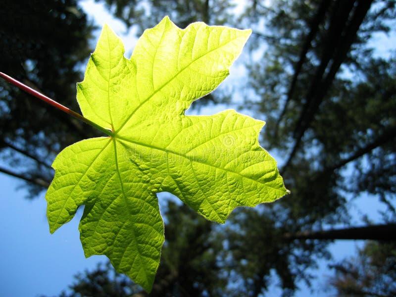 backlit liści słońce obrazy stock