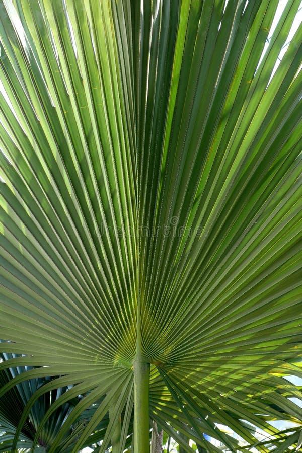 backlit liścia palmy obrazy royalty free