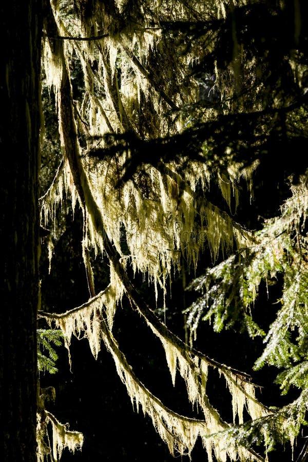 Backlit mech na drzewie zdjęcie stock