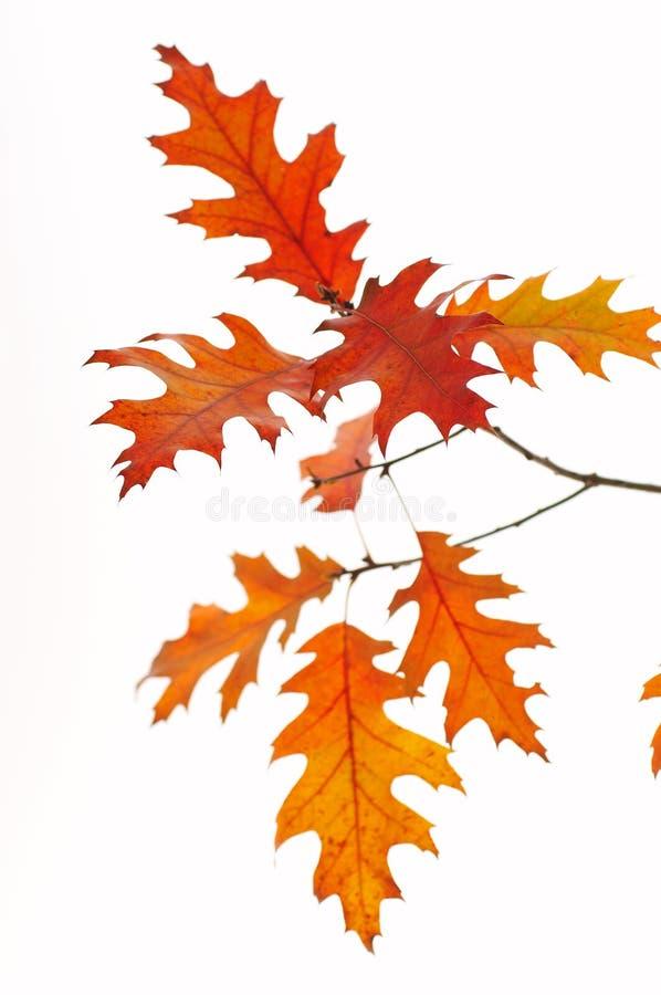 Backlit oak leafs stock photo