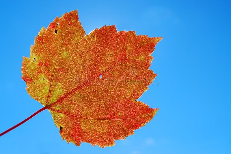 Backlit Orange Leaf stock images