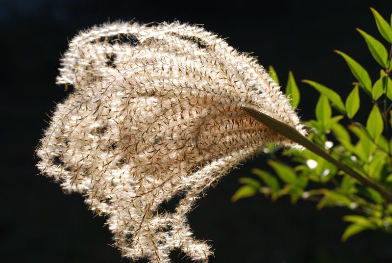 Backlit Ornamental Grass Seed stock photo