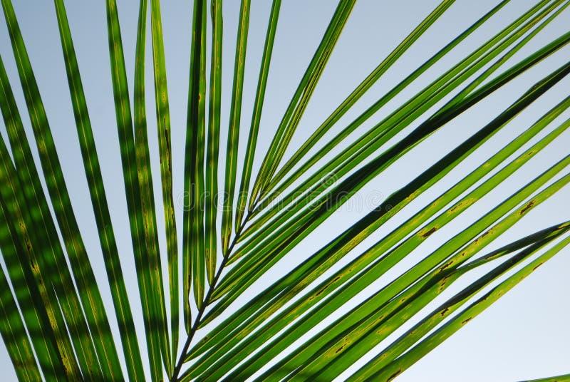 Backlit Palmblad royalty-vrije stock afbeelding