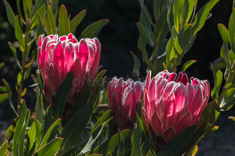 Backlit pink protea flowers royalty free stock image