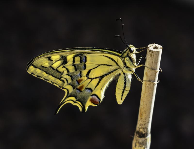 Backlit Profile of Newly Emerged Swallowtail Butterfly royalty free stock image