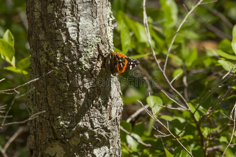 Backlit Red Admiral Butterfly on Tree. Sitting on a sunlit tree, and backlit by the sun, the beautiful orange stripes and white spots of the brown Red Admiral royalty free stock photography