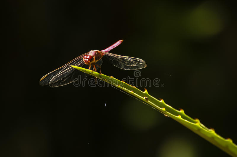 Backlit Red Dragonfly on Barbed Plant Leaf. With the sun behind it, this red-eyed, red-bodied paused dragonflys clear and delicate wings appear like glass, as it royalty free stock photography