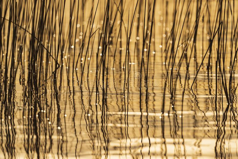 Reed in backlight. Backlit reed in yellow sunlight royalty free stock photo