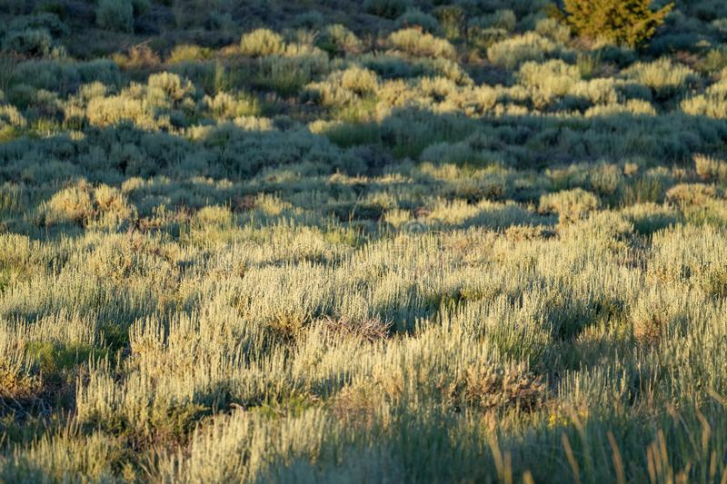 Backlit sagebrush in the high desert of Eastern Sierra mountains. Selective focus on middle area of the brush, useful for abstract. Backgrounds royalty free stock images