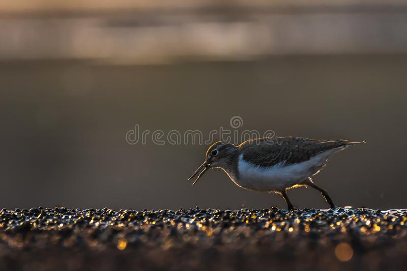 Backlit Sandpiper Walking in the evening stock photo