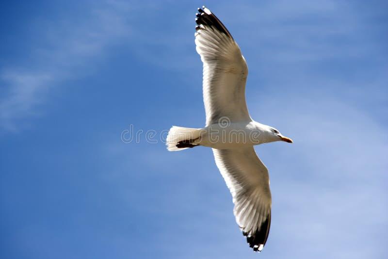 Backlit Seagull Stock Photos
