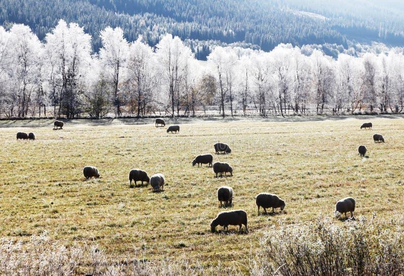 Backlit sheep royalty free stock photos