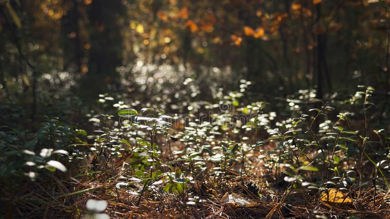Backlit Shrubs Of Lingonberry, Cowberry Or Vaccinium Vitis-Idaea In The Afternoon Forest. Autumn Colors, Change Of Seasons Concept stock images